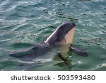 this beached porpoise was...   Shutterstock . vector #503593480