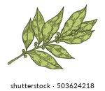 bay leaf fresh herb plant... | Shutterstock .eps vector #503624218