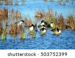 Canada Geese sleeping at Horicon Marsh, Wisconsin