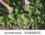 Picking Spinach In A Home...