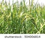 rice | Shutterstock . vector #504006814