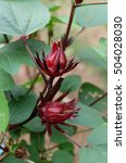 Small photo of Hibiscus sabdariffa, Roselle,red Roselle flowers in the garden.