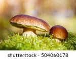 mushrooms boletus growing in... | Shutterstock . vector #504060178