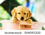 Stock photo golden retriever puppies playing 504092320