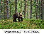 European brown bear in a forest ...