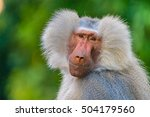 Head Shot Of A Baboon In Front...
