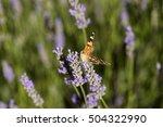 butterfly on lavender in...   Shutterstock . vector #504322990