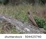 A Red Shafted Flicker  Red...
