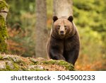 Female  Brown Bear Comes From...