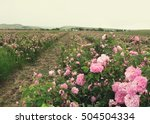Field Of Blooming Pink Damask...