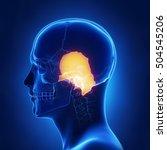 temporal bone   os temporale...   Shutterstock . vector #504545206