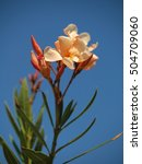 Oleander With Blue Sky  Creamy...