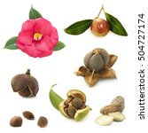 Camellia Flower And Seeds On A...