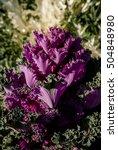 kale  brassica oleracea var....   Shutterstock . vector #504848980