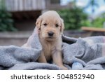 Stock photo the little puppy golden retriever 504852940