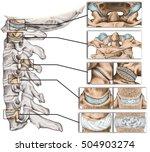 joints of the vertebral column  ... | Shutterstock . vector #504903274