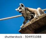 portrait of lemur with a... | Shutterstock . vector #504951088