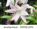 Small photo of Amaryllis Belladonna Lily, close-up shot in a garden on Madeira against blurred background