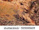 australian lizard   Shutterstock . vector #505000609