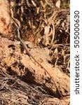 australian lizard   Shutterstock . vector #505000630