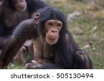 chimpanzee with a curious...   Shutterstock . vector #505130494