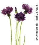 cornflower   centaurea on a... | Shutterstock . vector #505257016