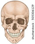 the bones of the cranium  the... | Shutterstock . vector #505306129