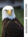 beautiful north american bald... | Shutterstock . vector #505311484