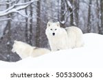 Two Arctic Wolves Standing In...