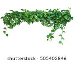 heart shaped green leaves vine  ... | Shutterstock . vector #505402846
