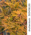 Small photo of Background or Texture of the Autumn Colours of a Japanese Maple (Acer palmatum) in a Garden in Devon, England, UK.