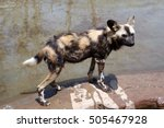 Small photo of African wild dog (Lycaon) is carnivorous mammal of canine family, closest relative of red wolf. African wild dog is more like hyena. African wild dog lives in grasslands and hunts in packs.