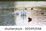 Two White Swans Float On Water...