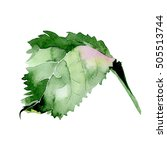 hydrangea leaf isolated on... | Shutterstock . vector #505513744
