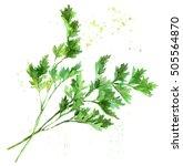 watercolor hand drawn parsley.... | Shutterstock . vector #505564870