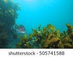 adult australasian snapper... | Shutterstock . vector #505741588
