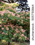 Small photo of Albizia julibrissin. Silk tree acacia.