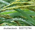 Close Up Of Green Paddy Rice....