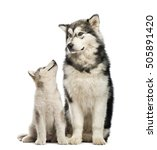 Small photo of Alaskan Malamute puppies and his mum sitting isolated on white