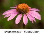 Coneflower  Echinacea