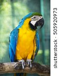 The Blue And Gold Macaw