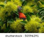 the rainbow lorikeet is a... | Shutterstock . vector #50596291