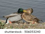 Small photo of Squabble between male and female mallard ducks on edge of lake