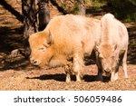A Rare White Bison And Calf Are ...