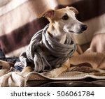 Portrait Of Whippet Dog On A...