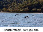 Four Cormorant Flying Over...