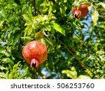 ripe pomegranate on a branch   Shutterstock . vector #506253760
