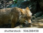 A wolf drinking water from a pond