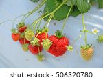 Strawberry Picking Farm In Japan