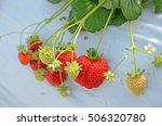 Strawberry Field In Picking...